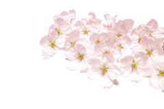 Japanese cherry blossom flowers abstract Stock Photography