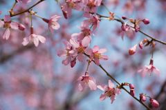 Japanese Cherry blossom flowers. In New York City Stock Photo