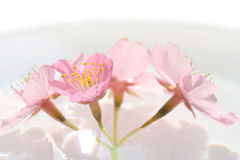 Japanese cherry blossom flowers in the water #2 Stock Photos