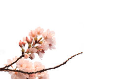 Japanese Cherry Blossom isolated on white Royalty Free Stock Photo