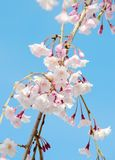 Japanese cherry blossom Stock Photo