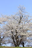Japanese cherry blossom in kakunodate Stock Photography