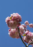 Japanese cherry blossom Stock Photography
