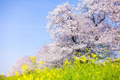 Japanese Cherry Blossom Royalty Free Stock Image