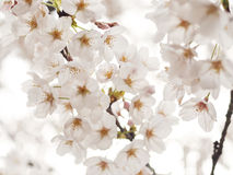 Japanese Cherry Blossom (Sakura) Royalty Free Stock Photo