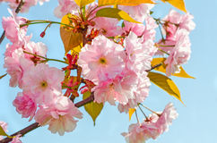 Japanese cherry blossom Royalty Free Stock Photos