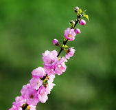 Japanese cherry blossom, sakura on a green  background Royalty Free Stock Photo