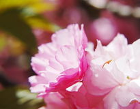 Japanese cherry blossom in spring Stock Images