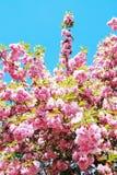 Japanese cherry Stock Image
