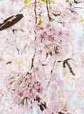 Japanese cherry blossom Royalty Free Stock Photography