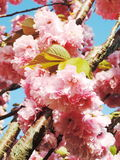 Japanese cherry blossom Stock Image