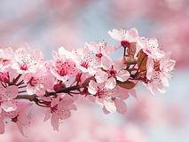 Japanese Cherry Blossom. In Spring Royalty Free Stock Images