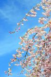 Japanese cherry blossom Stock Photos