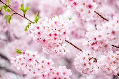 Japanese cherry blossom tree in full bloom during spring stock photos