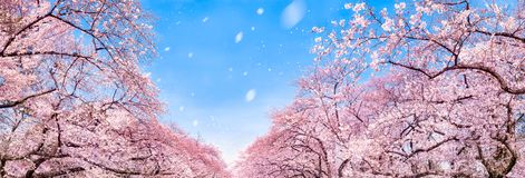 Japanese cherry blossom tree panorama in spring as background royalty free stock photography