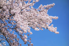 Japanese cherry blossom trees Royalty Free Stock Photos