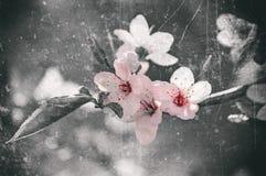 Japanese cherry blossom Royalty Free Stock Photo