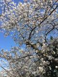 Japanese Cherry Blossom in Washington DC Stock Photos