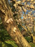 Japanese Cherry Blossom in Washington DC Royalty Free Stock Photos