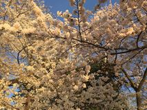 Japanese Cherry Blossom in Washington DC. Royalty Free Stock Images