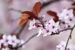 Japanese cherry blossoms Stock Photography
