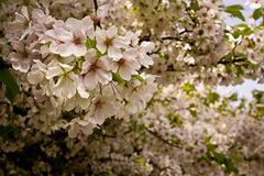 Japanese Cherry Blossoms. Close-up and into distance Stock Photo