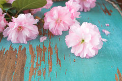 Japanese cherry blossoms Stock Photo