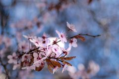 Japanese cherry blossoms against a light blue bokeh background stock photo