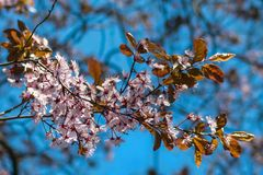 Japanese cherry blossoms against a light blue bokeh background royalty free stock images