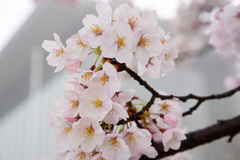 Japanese cherry blossoms. Are beautiful in April Royalty Free Stock Photo
