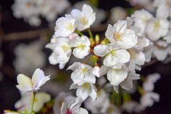 Japanese cherry blossoms. Are beautiful in April Stock Photos