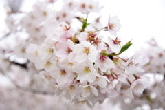 Japanese cherry blossoms. Are beautiful in April Royalty Free Stock Images