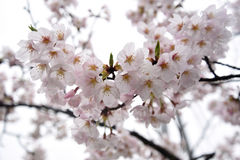 Japanese cherry blossoms. Are beautiful in April Stock Image