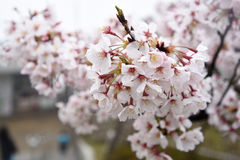 Japanese cherry blossoms. Are beautiful in April Royalty Free Stock Image