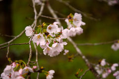 Japanese cherry blossoms. Are beautiful in April Stock Photography