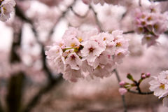 Japanese cherry blossoms. Are beautiful in April Stock Images