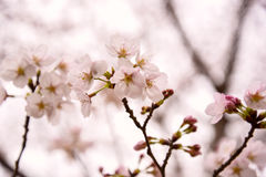 Japanese cherry blossoms. Are beautiful in April Royalty Free Stock Photography