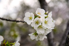 Japanese cherry blossoms. Are beautiful in April Royalty Free Stock Photos