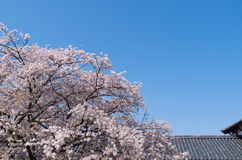 Japanese Cherry Blossoms Royalty Free Stock Images