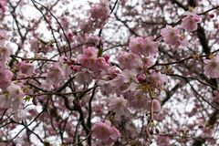 Japanese Cherry Blossoms Close-up royalty free stock images