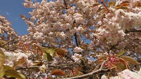 Japanese Cherry Blossoms dolly move Royalty Free Stock Images