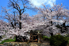 Japanese cherry blossoms in full bloom Royalty Free Stock Photo