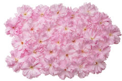 Japanese cherry blossoms. Heap of japanese cherry blossoms Royalty Free Stock Photo