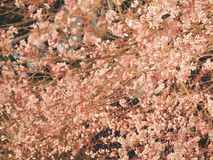 Japanese cherry blossoms at night time illumination Royalty Free Stock Image