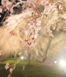 Japanese cherry blossoms at night time illumination Royalty Free Stock Images