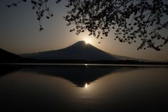 Japanese cherry blossoms are seen in front of Mt Fuji, Shizuoka, Japan. Japanese cherry blossoms are seen in front of Mount Fuji being reflected at a lake in royalty free stock image