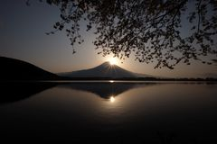 Japanese cherry blossoms are seen in front of Mt Fuji, Shizuoka, Japan. Japanese cherry blossoms are seen in front of Mount Fuji being reflected at a lake in royalty free stock photo