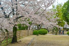 Japanese cherry blossoms at spring time stock image