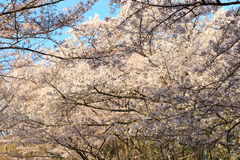 Japanese Cherry blossoms tree Royalty Free Stock Photo