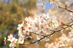 Japanese Cherry blossoms tree Stock Photo